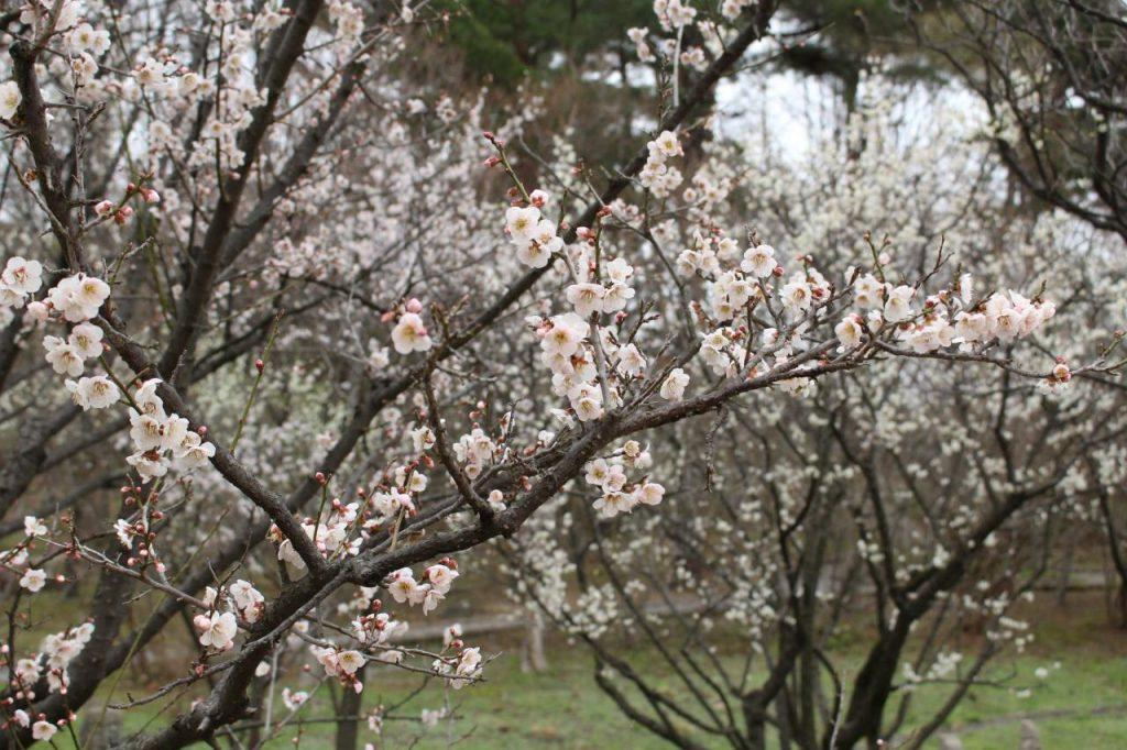 Three sites with beautiful cherry blossoms