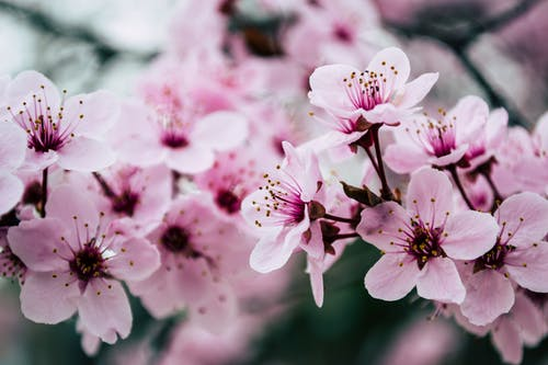 The blooming history of cherry blossoms in Korea